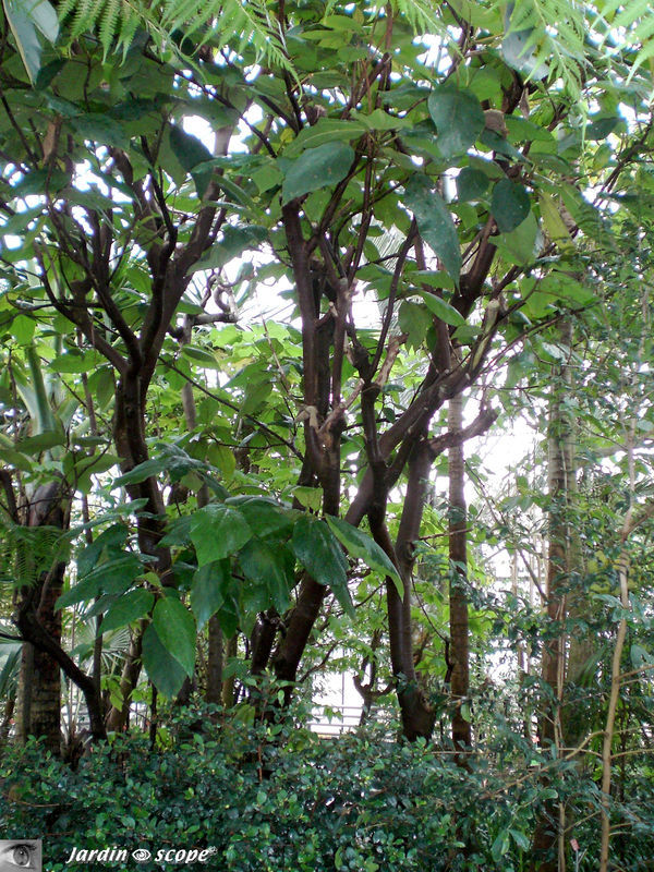 CIMG1445_Ficus