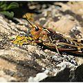 Criquet bariolé : arcyptera fusca