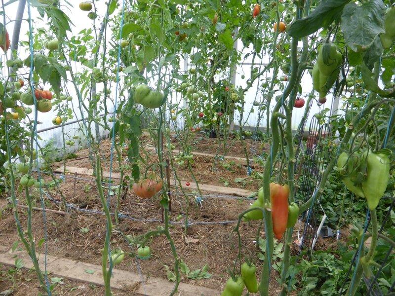 28-serre-tomates-raisins (5)