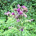 Sentier de l'Auze, flore 3 (15)