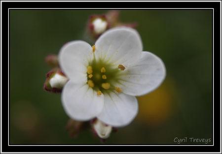 2010_05_18_SUne_fleur_de_saxifrage