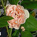 ♥ deuxième floraison des rosiers ♥