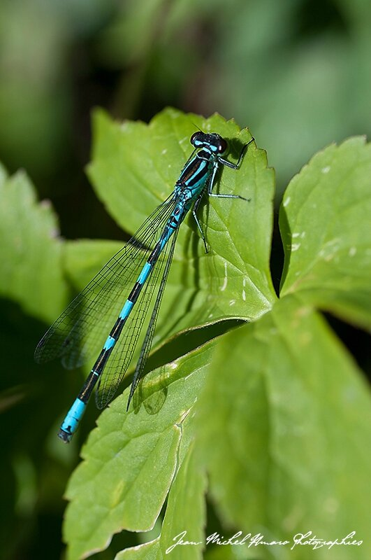 2014_07_Coenagrion hastulatum_02