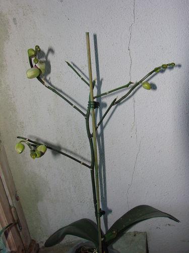 2008 07 22 Mon orchidée qui va fleurir