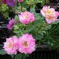 Petit rosier