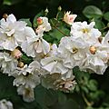 Roses du jardin fin Mai 2009 (143)