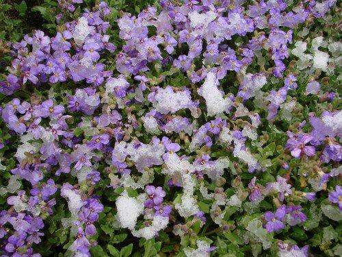 2008 04 11 Mes fleurs d'aubriètes sous un peu de neige
