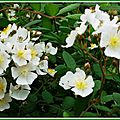 Petites roses blanches 080515