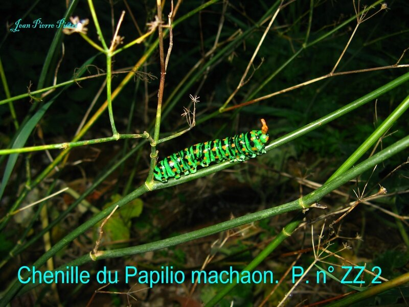 Chenille du machaon n°ZZ2