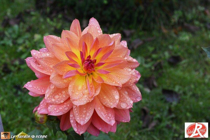 Dahlia-Tricolore