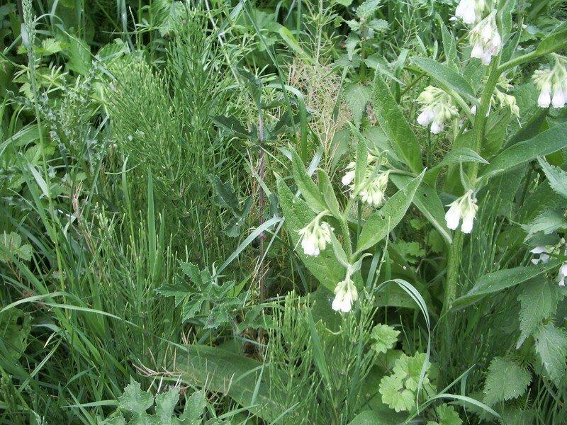 3 plantes pour un bon purin pr le consoude et ortie - Purin de prele ...