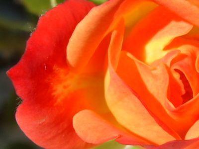 rosierorange4