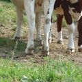 pieds vaches