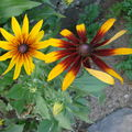 2008 07 24 Mes premières fleurs de rudbeckia
