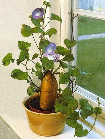 Patate l 39 eau points de cerise violette - Comment planter des patates ...