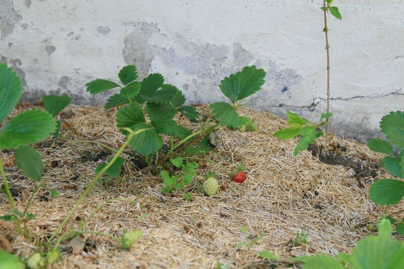 a_petits_pas_notre_jardin_fraisiers