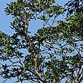 Ramphastos tucanus - Toucan à bec rouge
