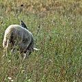 mouton et son étourneau