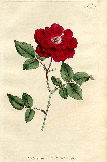 1794 ROSA SEMPERFLORENS CURTIS'BOTANICAL MAGASINE