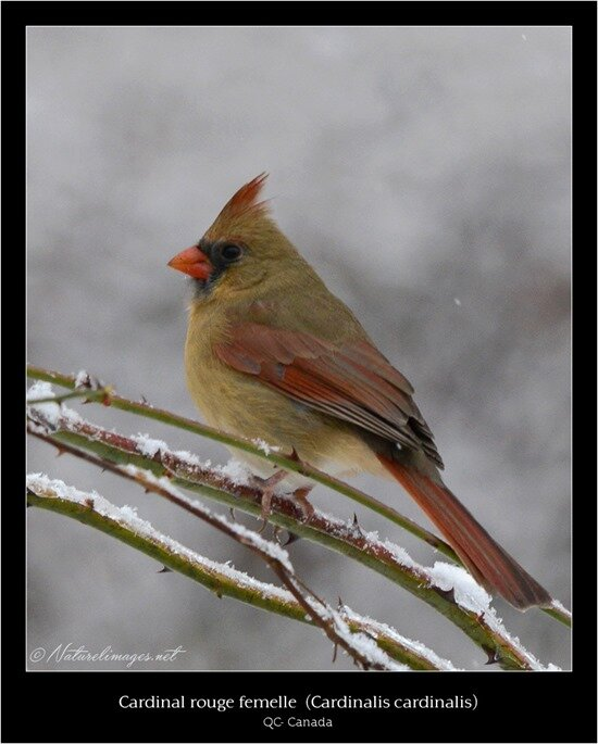 female-cardinal-18-1-naturelimages
