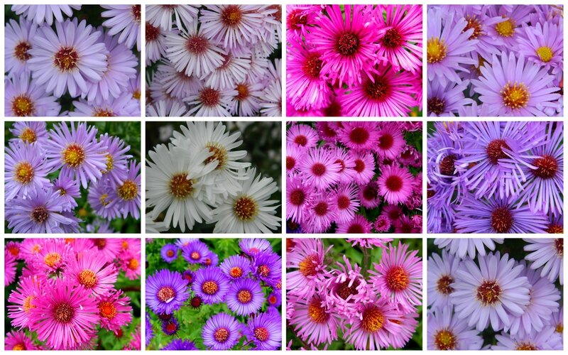 asters3