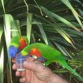 Au jardin de Deshaies (Basse-Terre), les oiseaux aiment le sucre de canne !!!!!