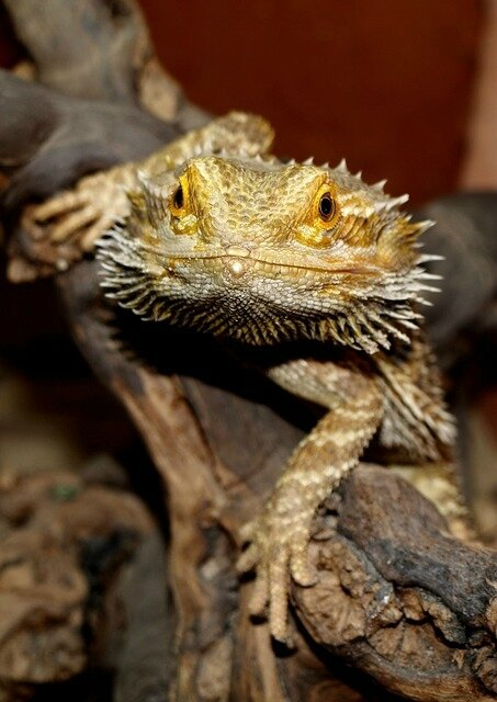 bearded-dragon-1302335_640
