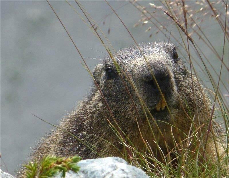le baiser de la marmotte