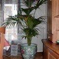 Le kentia, un palmier d'intérieur peu exigeant…