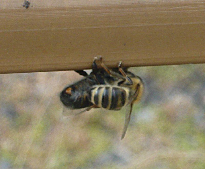abeilles_aout2011_03