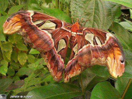 Attacus atlas • Saturniidae