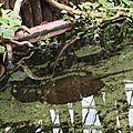 Raies d'eau douce d'Amazonie