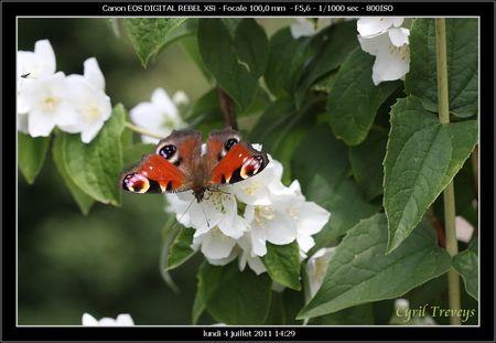 2011_07_04_Un_papillon_sur_une_fleur_de_seringua