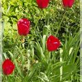 Tulipes rubis