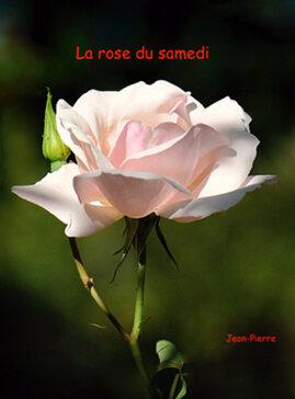 La rose du samedi de JP