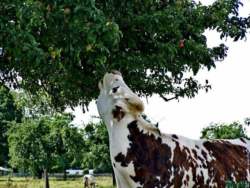 vache-pommier