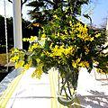 Le mimosa du jardin