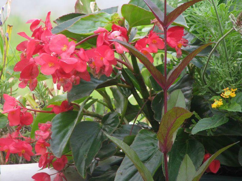 B gonia isy brico busy isy for Plante d interieur plein soleil