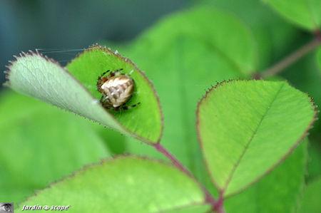 Épeire diadème • Araneus diadematus (Juvénile)