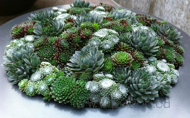 Les succulentes les reines de l 39 t the queen of for Plante grasse exterieur vivace