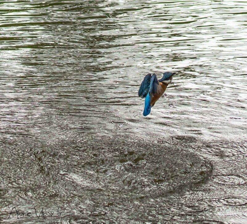 Martin pêcheur sortant de l'eau
