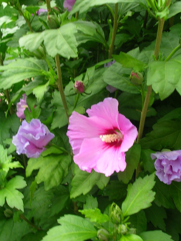 Fleurs de mon Jardin 013