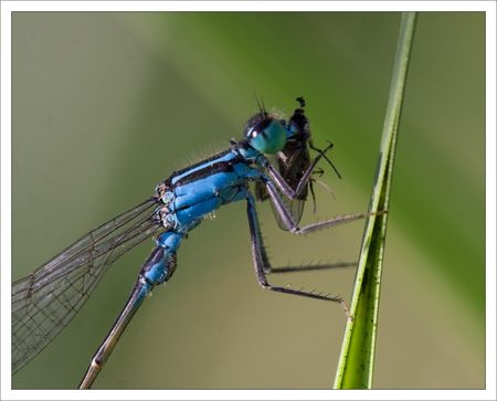 Niort_libell_agrion_repas_11_0809