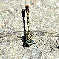 Onychogomphe à pinces - Onychogomphus forcipatus (4)