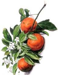 oranges et fleurs2