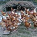 2008 10 13 Les poulets