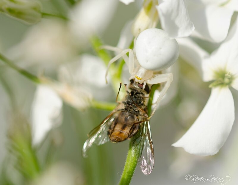 Thomise variable - Misumena vatia (4)