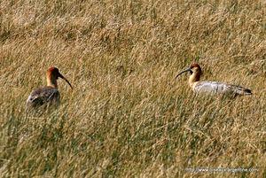 ibis_face_noire__1_