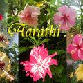 Hibiscus flowers ok Kerala
