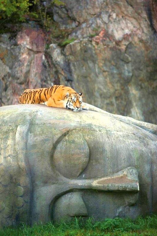 tigre méditant